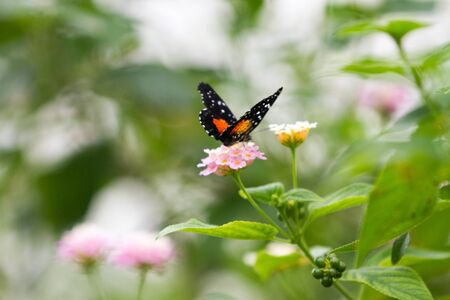 Red admiral (Vanessa atalanta) black with red and white butterfly on pink and yellow flower