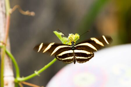 longwing: Zebra Longwing Butterfly - Heliconius charitonia, butterfly with black and yellow stripes