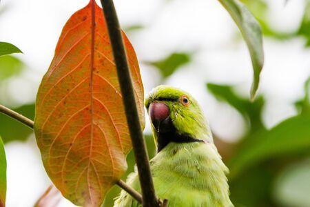 Red beak parrot hidding in the trees leaves