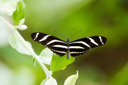 Zebra Longwing Butterfly - Heliconius charitonia, butterfly with black and yellow stripes