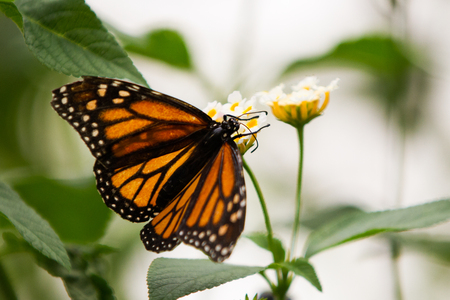 Monarchs butterfly with distinct orange, black, and white wings on pink and yellow flower