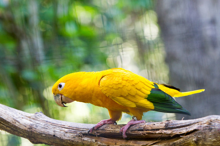 The golden parakeet or golden conure (Guaruba guarouba), yellow parrot with green-tipped wings and tan eye-spots