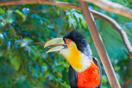 Close-up of the toucan