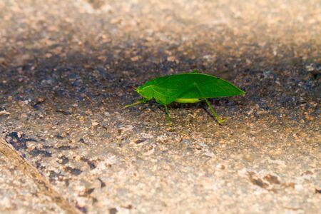 Close-up of green katydids on the wall