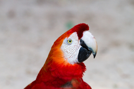 The green-winged macaw