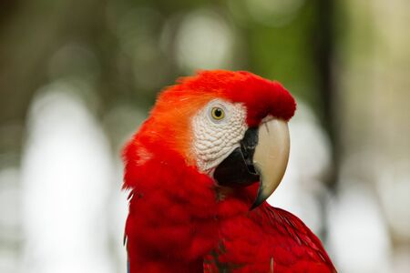 The green-winged macaw, also known as the red-and-green macaw - large, mostly-red macaw of the Ara genus, native to South America. Stock Photo