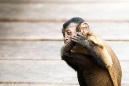 Close-up of monkeys on the banks of Rio Negro in the Amazon River basin, Brazil, South America Reklamní fotografie