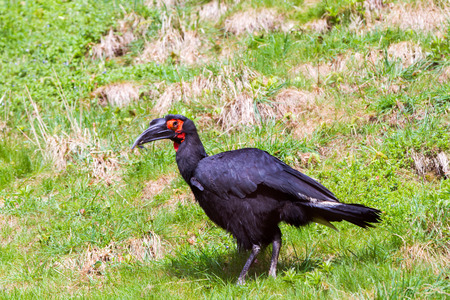 raptorial: The southern ground hornbill (Bucorvus leadbeateri; formerly known as Bucorvus cafer)