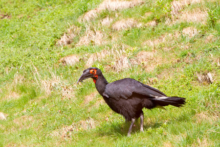 scavenger: The southern ground hornbill (Bucorvus leadbeateri; formerly known as Bucorvus cafer)