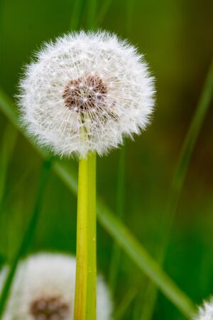 Close-up of dandelion (Taraxacum) in ripe fruits over green background Stock Photo