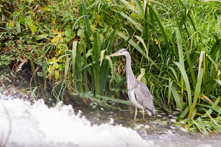 Grey Heron on water canal with Dublin city in the background