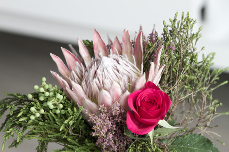 Pink king protea flower (Protea cynaroides, sugarbush, suikerbos) represents in South African tradition change and hope
