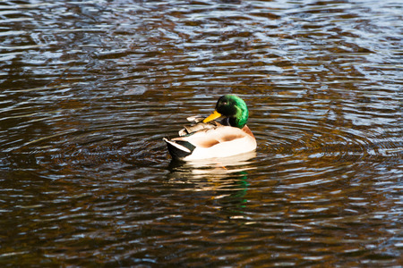 Close-up Of Duck Floating On Pond In Autumn Light Stock Photo ...
