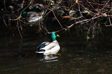 Close-up of duck floating on pond in autumn light Stock Photo