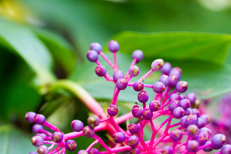 The berry-bearing raceme of Medinilla speciosa, common name Showy Asian Grapes,  perennial epiphytic plant in the genus Medinilla