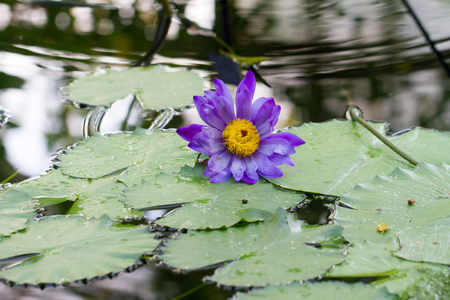 Nymphaea caerulea, known primarily as blue lotus (or blue Egyptian lotus), blue water lily (or blue Egyptian water lily), and sacred blue lily - water lily in the genus Nymphaea