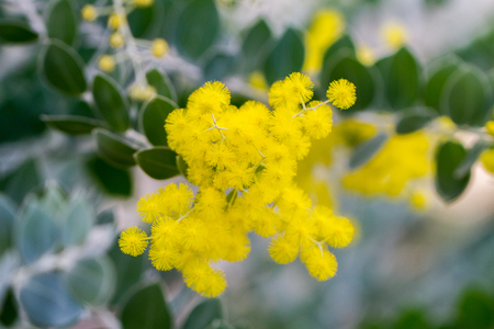 Bunch of yellow little bulb flowers resembling mimosa plant