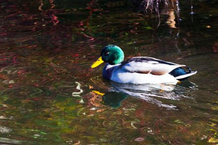 Close-up of duck floating on pond in autumn light Standard-Bild