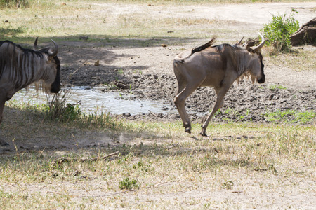 The blue wildebeest (Connochaetes taurinus), also called the common wildebeest, white-bearded wildebeest or brindled gnu, is a large antelope and one of the two species of wildebeests of the genus Connochaetes and family Bovidae in the Tarangire National Park, Tanzania