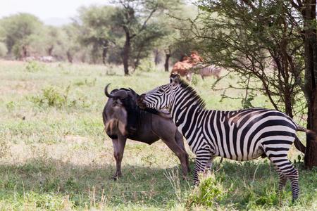 Zebra soorten Afrikaanse paardachtigen (paardenfamilie) verenigd door hun onderscheidende zwart-wit gestreepte jassen in verschillende patronen, uniek voor elk individu en de blauwe gnoe (Connochaetes taurinus), ook wel de gewone gnoe, wit-bebaarde gnoe of gestroomde gnoe genoemd, groot antilope en een van de twee soorten wildebeesten van het geslacht Connochaetes en familie Bovidae in het Tarangire National Park, Tanzania Tarangire National Park, Tanzania