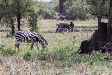 Zebra soorten Afrikaanse paardachtigen (paardenfamilie) verenigd door hun onderscheidende zwart-wit gestreepte jassen in verschillende patronen, uniek voor elk individu en de blauwe gnoe (Connochaetes taurinus), ook wel de gnoe, witbaard gnoe of gestroomde gnu genoemd, is een grote antilope en een van de twee soorten wildebeesten van het geslacht Connochaetes en familie Bovidae in het Tarangire National Park, Tanzania
