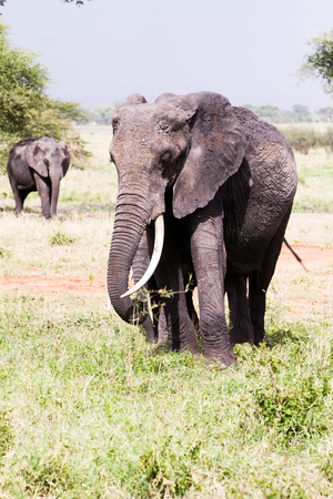 African elephants, of the genus Loxodonta in Tarangire National Park, Tanzania