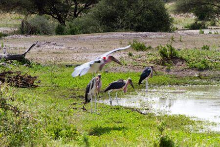 Marabou stork Leptoptilos crumenifer in Serengeti National Park