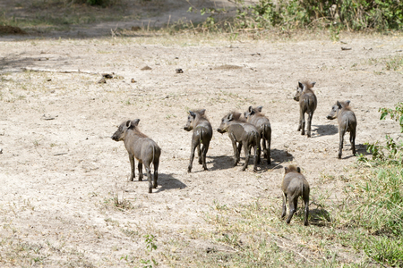 The common warthog (Phacochoerus africanus), wild member of the pig family (Suidae) found in grassland, savanna, and woodland in Tarangire National Park, Tanzania
