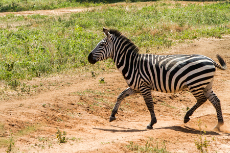 Zebra species of African equids (horse family) united by their distinctive black and white striped coats in different patterns, unique to each individual in Tarangire National Park, Tanzania