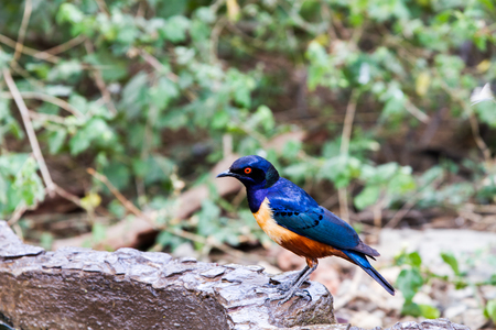 The Superb Starling (Lamprotornis superbus), formerly known as Spreo superbus in Serengeti ecosystem, Tanzania, Africa Stock Photo