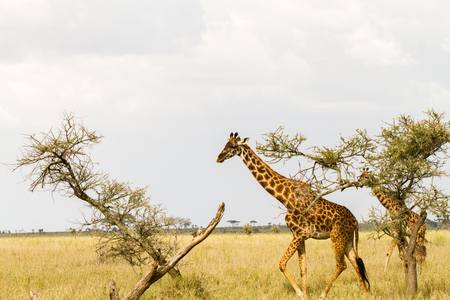 The giraffe (Giraffa), genus of African even-toed ungulate mammals, the tallest living terrestrial animals and the largest ruminants, part the Big Five game animals in Serengeti, Tanzania Banco de Imagens
