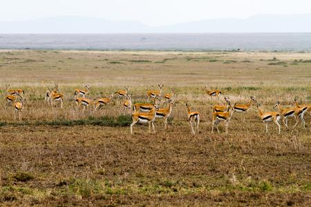 トムソンのガゼル(ユードルカス・トムソンイ)は、セレンゲティ生態系、タンザニア、アフリカの東アフリカで最も一般的なタイプのガゼル