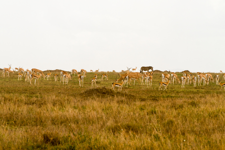 Thomsons gazelle (Eudorcas thomsonii), known as tommie, the most common type of gazelle in East Africa in Serengeti ecosystem, Tanzania, Africa