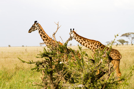 The giraffe (Giraffa), genus of African even-toed ungulate mammals, the tallest living terrestrial animals and the largest ruminants, part the Big Five game animals in Serengeti, Tanzania 版權商用圖片