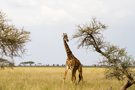 The giraffe (Giraffa), genus of African even-toed ungulate mammals, the tallest living terrestrial animals and the largest ruminants, part the Big Five game animals in Serengeti, Tanzania Stock Photo