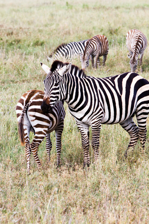Zebra species of African equids (horse family) united by their distinctive black and white striped coats in different patterns, unique to each individual in Serengeti, Tanzania