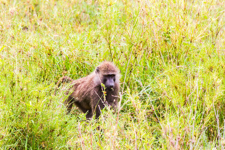 Vervet monkey (Chlorocebus pygerythrus), small, black faced monkey with a greenish-olive or silvery-gray body in Serengeti, Tanzanian national park in the Serengeti ecosystem in the Mara.
