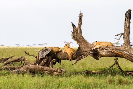 Southern African lion cubs (Panthera leo), species in the family Felidae and a member of the genus Panthera, listed as vulnerable, in Serengeti National Park, Tanzania