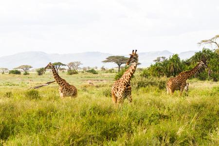 The giraffe (Giraffa), genus of African even-toed ungulate mammals, the tallest living terrestrial animals and the largest ruminants, part the Big Five game animals in Serengeti, Tanzania Standard-Bild