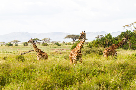 The giraffe (Giraffa), genus of African even-toed ungulate mammals, the tallest living terrestrial animals and the largest ruminants, part the Big Five game animals in Serengeti, Tanzania Zdjęcie Seryjne
