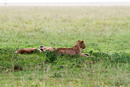 Southern African lioness (Panthera leo), species in the family Felidae and a member of the genus Panthera, listed as vulnerable, in Serengeti National Park, Tanzania