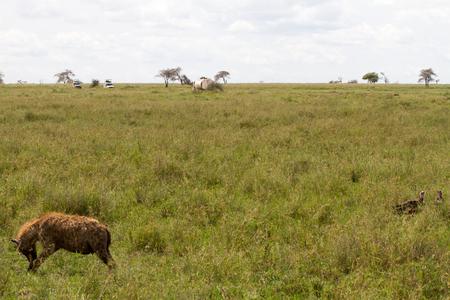 SERENGETI, TANZANIA - JANUARY 01: The spotted hyena (Crocuta crocuta) with Safari cars in the far background in Serengeti ecosystem, Tanzania on January 1st, 2018 Stock Photo