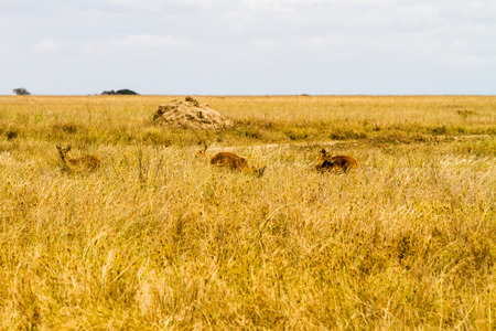 Serengeti National Park, Tanzanian national park in the Serengeti ecosystem in the Mara and Simiyu regions with impala (Aepyceros melampus) antelope camouflage in the field