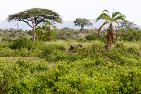 The common Common hippopotamus (Hippopotamus amphibius), or hippo, semiaquatic mammal native to sub-Saharan Africa in Serengeti National Park, Tanzania (Hippopotamus amphibius), or hippo, is a large, mostly herbivorous, semiaquatic mammal native to sub-Saharan Africa in Serengeti National Park, Tanzania 写真素材