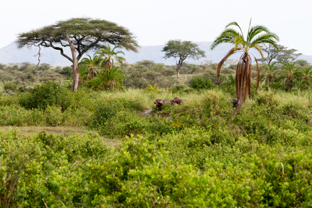 The common Common hippopotamus (Hippopotamus amphibius), or hippo, semiaquatic mammal native to sub-Saharan Africa in Serengeti National Park, Tanzania (Hippopotamus amphibius), or hippo, is a large, mostly herbivorous, semiaquatic mammal native to sub-Saharan Africa in Serengeti National Park, Tanzania 스톡 콘텐츠