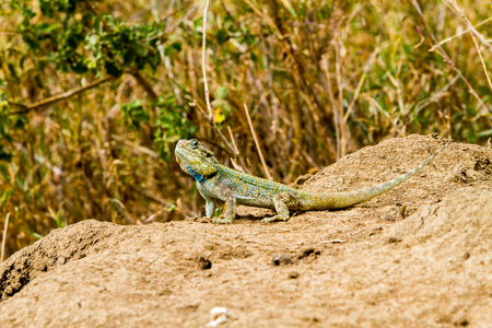 The southern rock agama (Agama atra) in the family Agamidae,  in green, yellow and blue on a rock in Serengeti, Tanzania