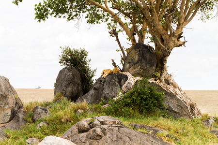 East African lion cubs (Panthera leo melanochaita), species in the family Felidae and a member of the genus Panthera, listed as vulnerable, in Serengeti National Park, Tanzania Stock Photo