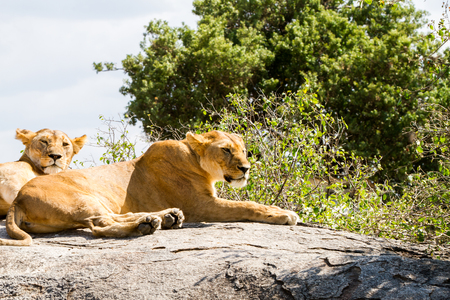 African lionesses (Panthera leo), species in the family Felidae and a member of the genus Panthera, listed as vulnerable, in Serengeti National Park, Tanzania