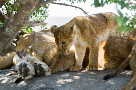 Southern African lion cubs and lionesses (Panthera leo), species in the family Felidae and a member of the genus Panthera, listed as vulnerable, in Serengeti National Park, Tanzania Stock Photo