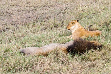 East African lion family (Panthera leo melanochaita), species in the family Felidae and a member of the genus Panthera, listed as vulnerable, in Serengeti National Park, Tanzania Stock Photo